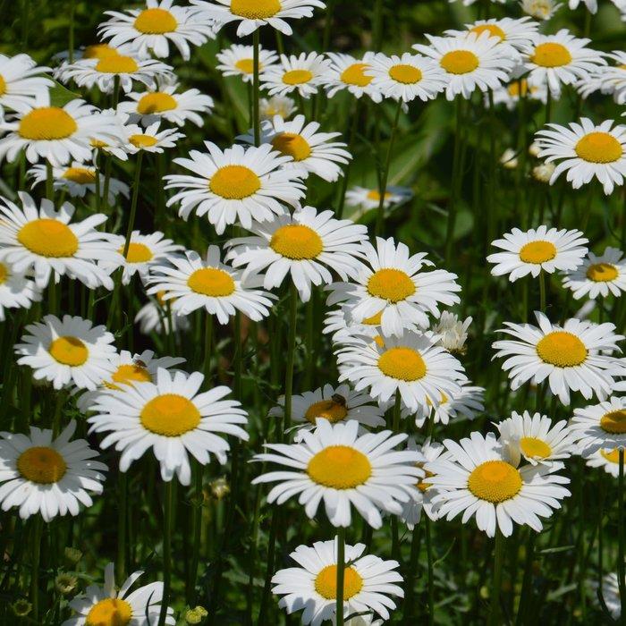 Chrysanthème sauvage - bio