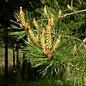 HE Pinus sylvestris bio 15ml