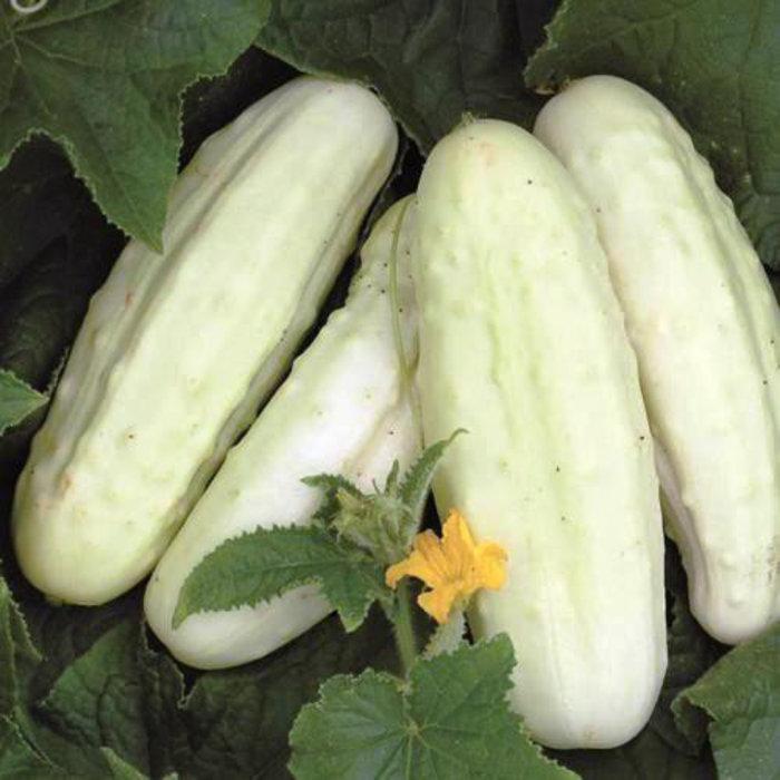 Concombre blanc de Hollande bio (30 semences)