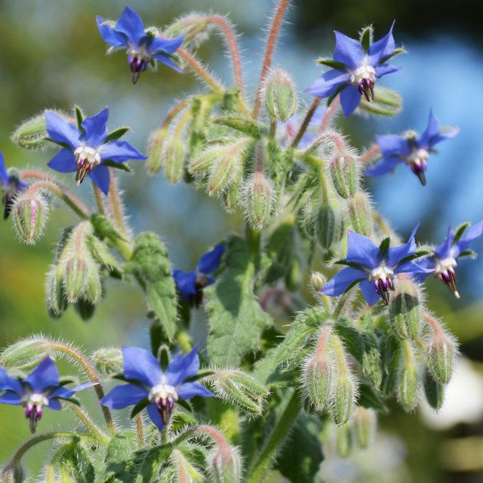Bourrache officinale - Bio (60 semences)