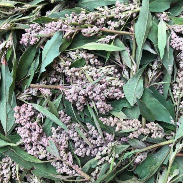 Épinard des Aztèques rouge - Bio (300 semences)
