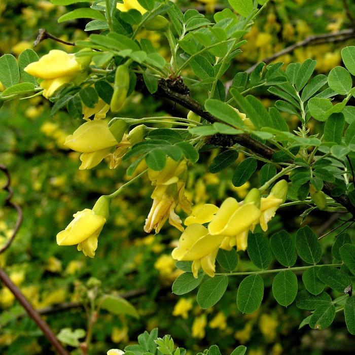 Caraganier de Sibérie - Bio (25 semences)