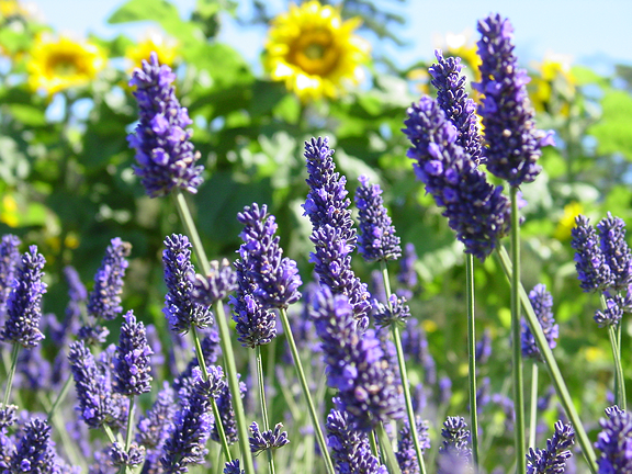 Lavender Wind Tour - Gardening with Lavender