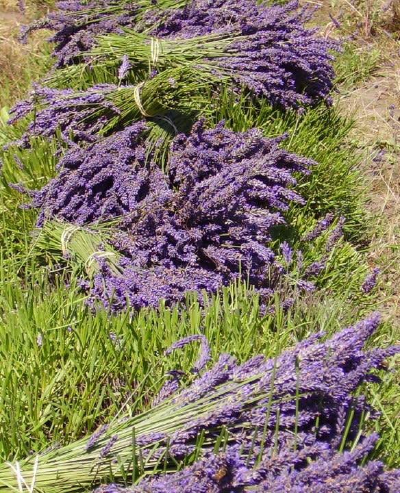 Lavender Wind Workshop - Farming Lavender