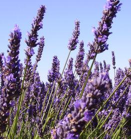 Lavender Wind Photographing Lavender Tour