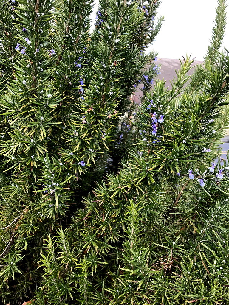 Whole Culinary Rosemary-2