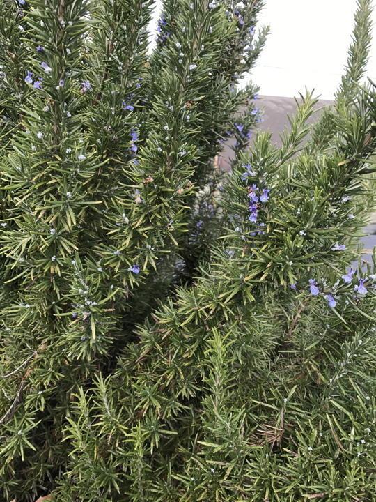 Lavender Wind Rosemary Hydrosol