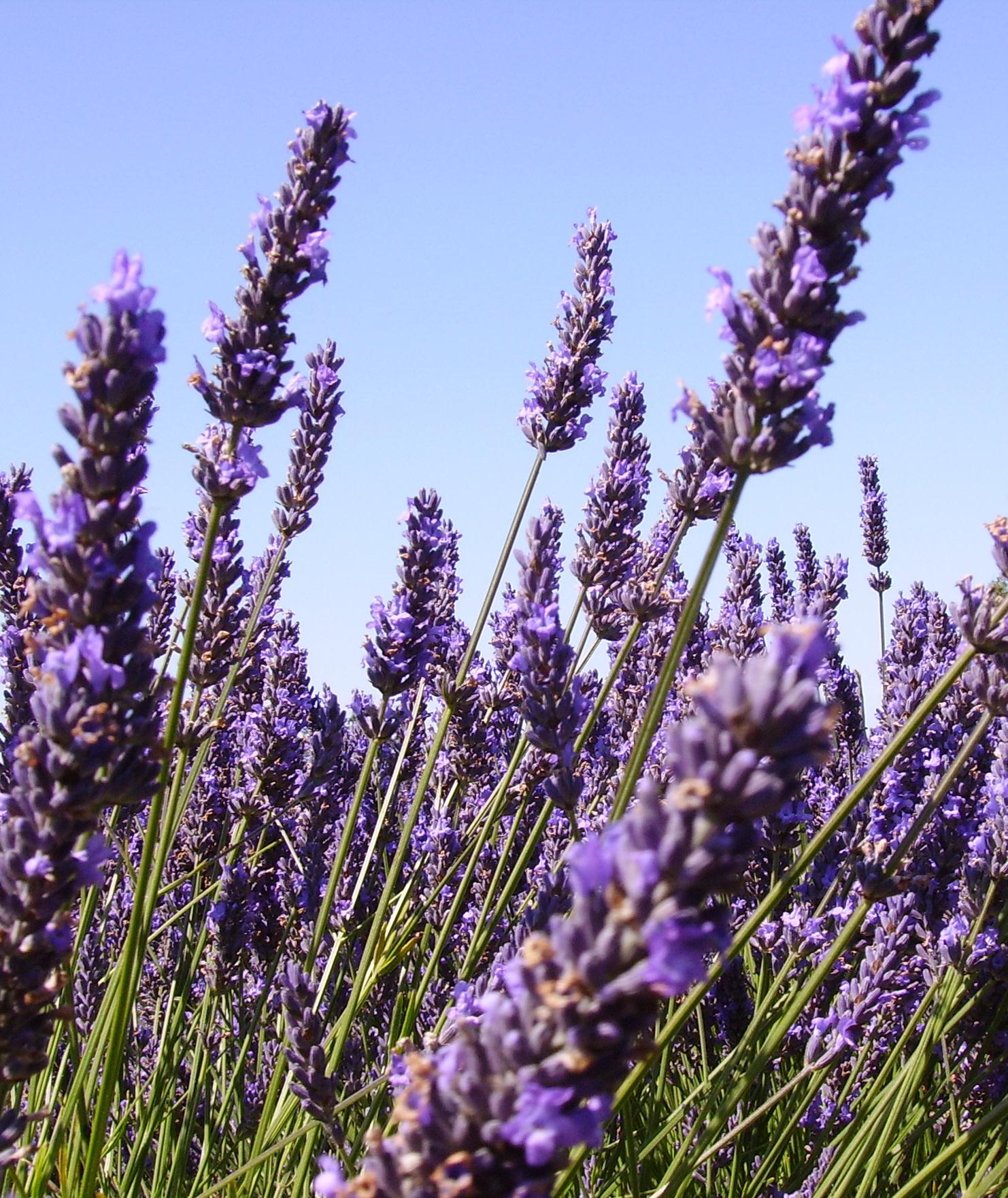 Lavender Plants-1