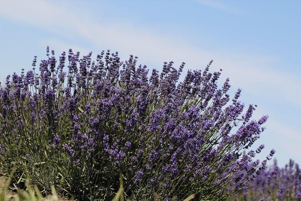 Lavender Plants-2