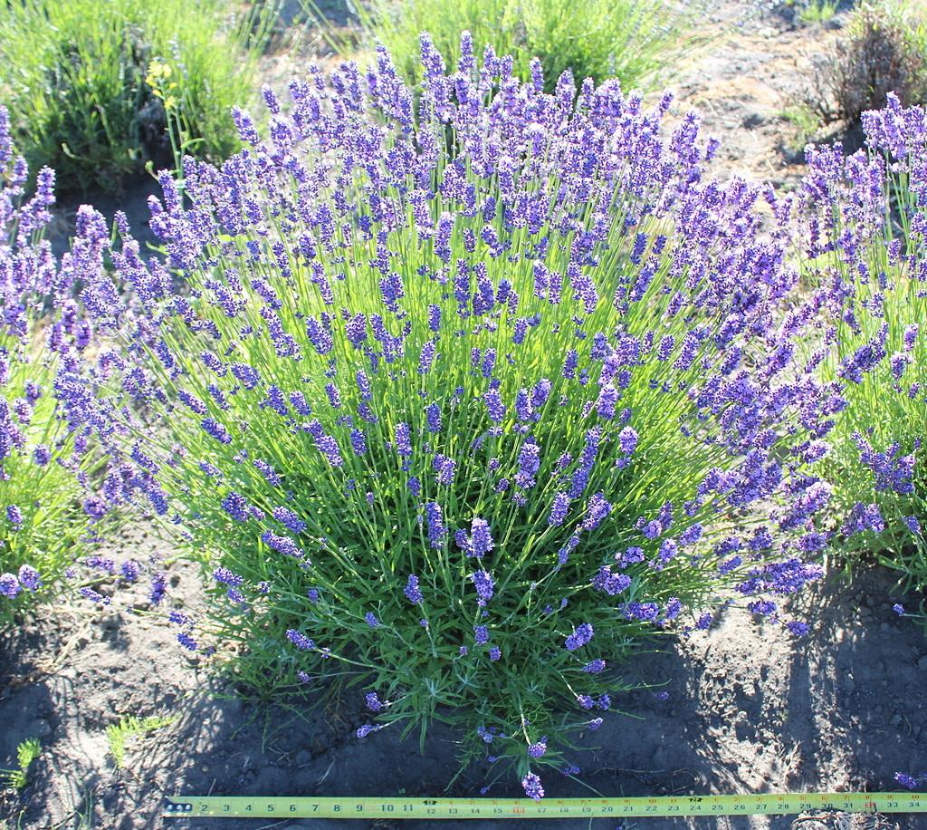 Lavender Plants-3