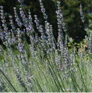 Lavender Plants-4