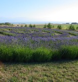 Lavender Wind Labyrinth Essential Oil - 10 ml.