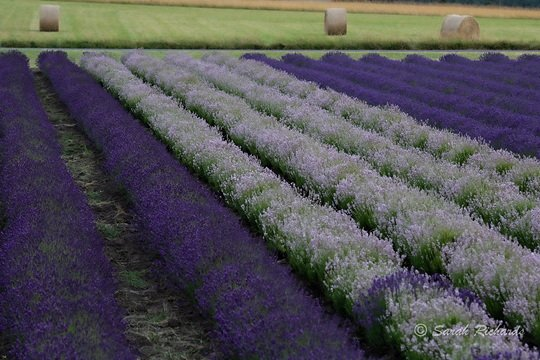 Growing lavender for you