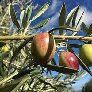 Sous les oliviers Huile d'olive extra vierge - variétés californiennes: Ascolano, Picual
