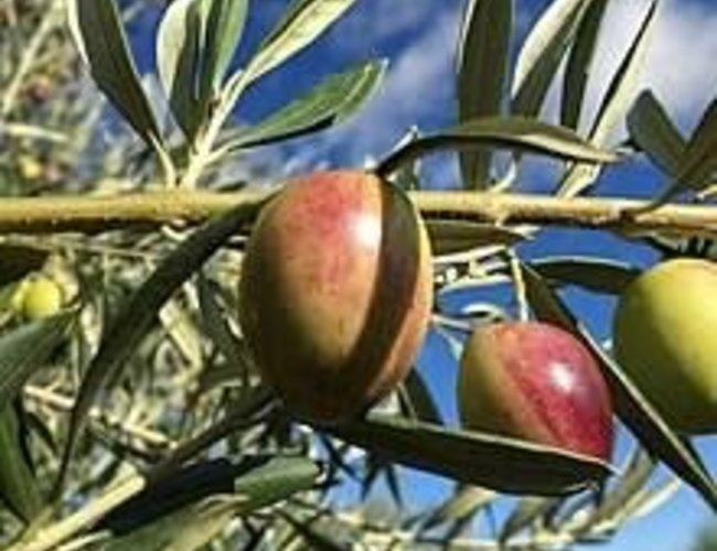 Sous les oliviers Huile d'olive extra vierge - variétés californiennes: Ascolano, Picual Nouveau / new