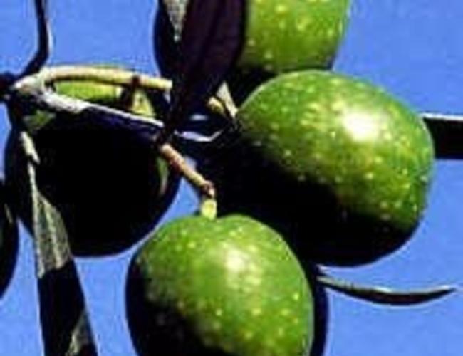 Olivo - Vert Latium Italienne bio 250ml