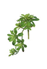 "11"" Aeonium Spray Green"