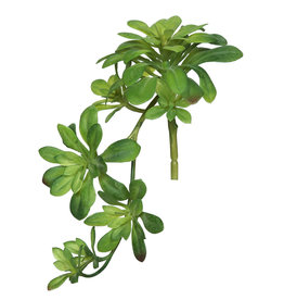 Aeonium Spray Green