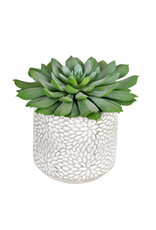 "6"" Green Potted Succulent"