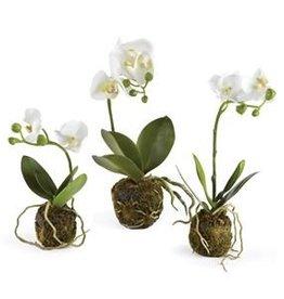 Phalaenopsis Drop In Orchid