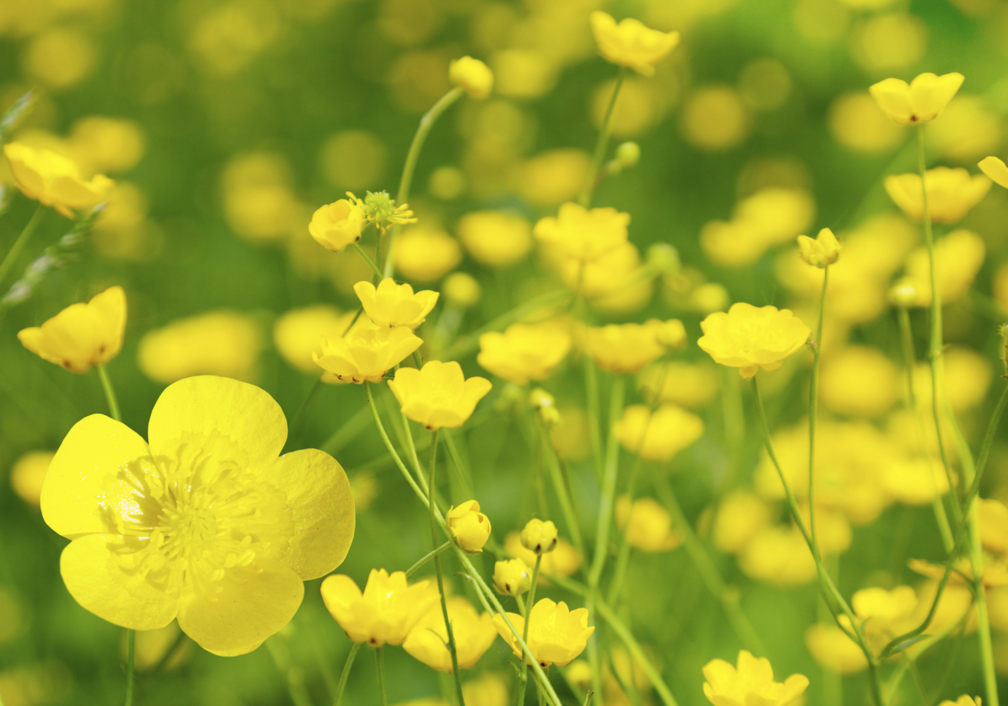 Problem Plants in your yard. Spring Allergies: The Buttercup