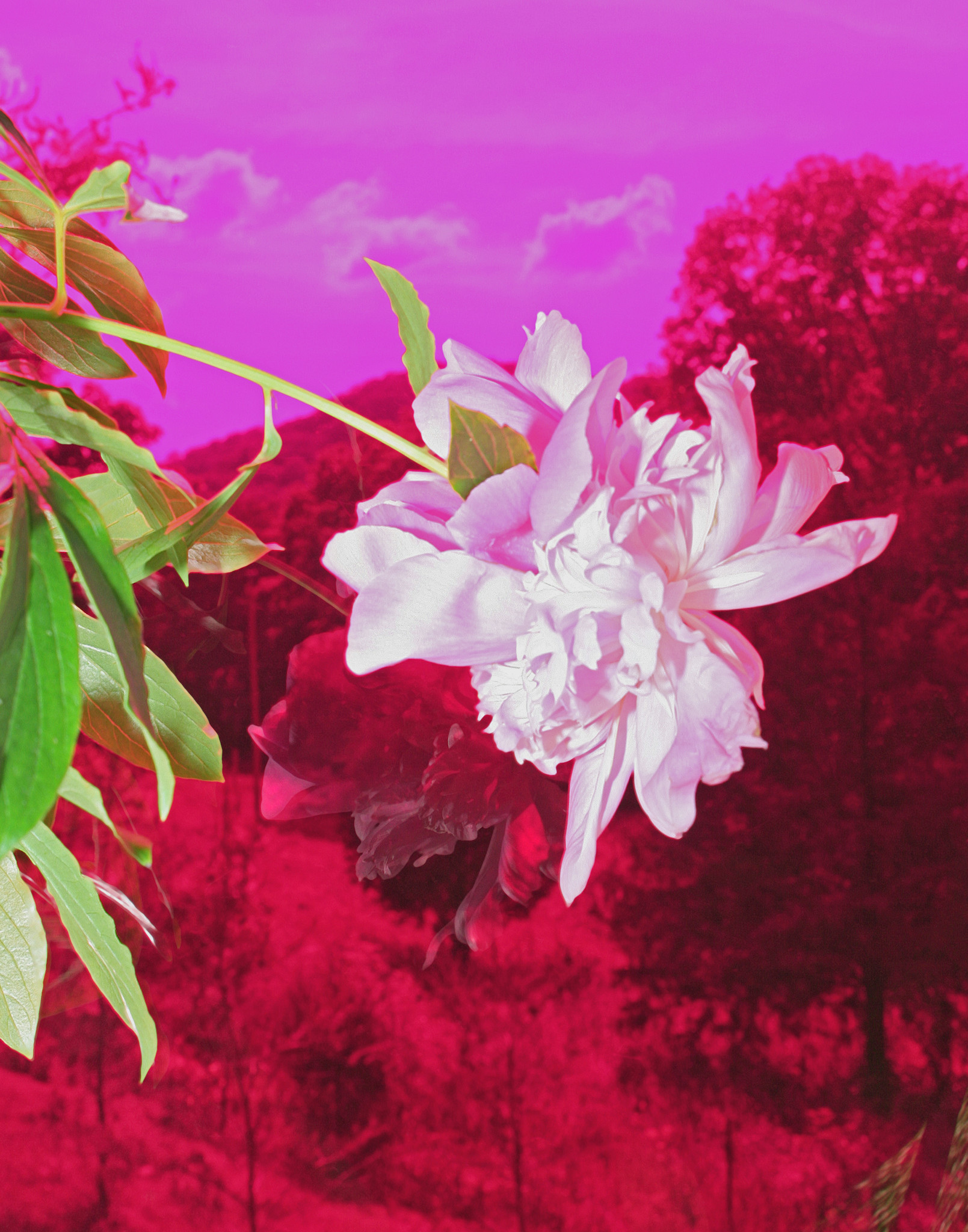 Benjy Russell Love is a peony