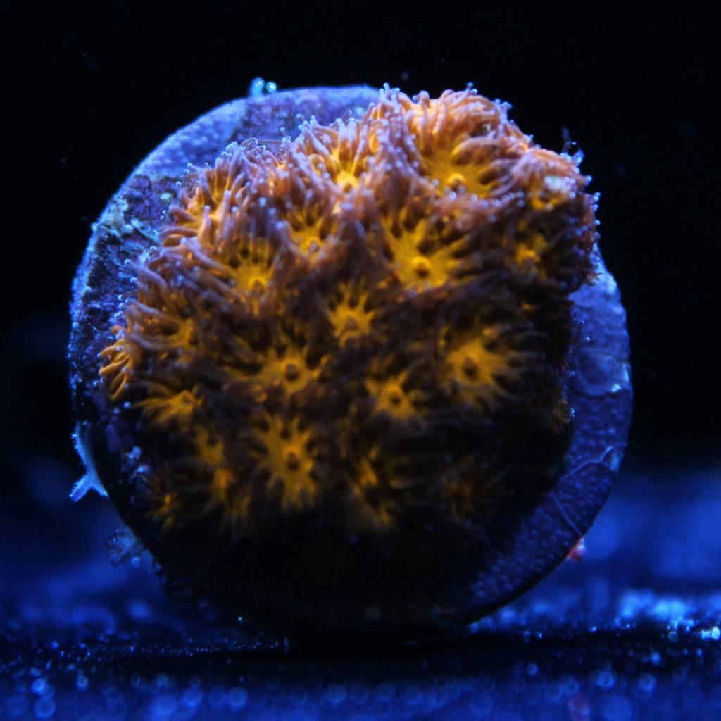 Riley's Reef - Jupiter Riley's Neon Orange Leptastrea