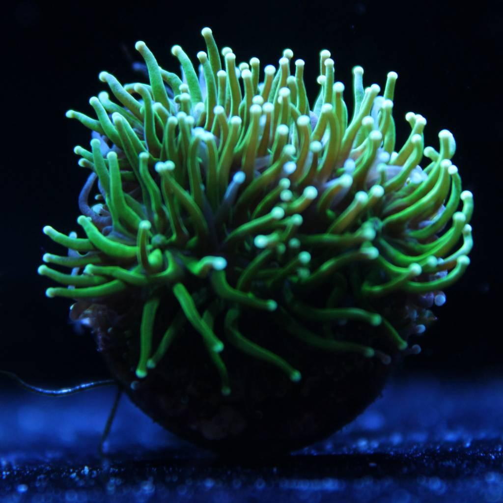 Green Galaxea Coral (Galaxea Sp)