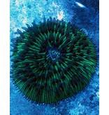 Green Fungia Plate Coral (Fungia repanda)