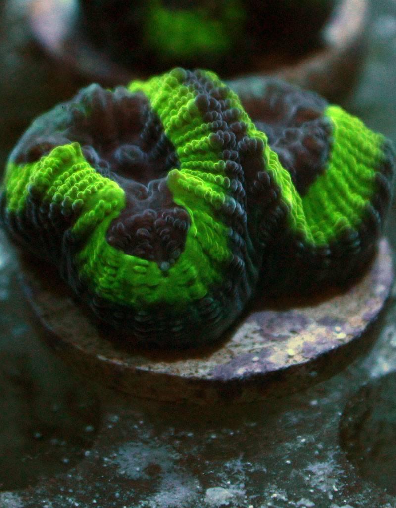 Riley's Reef - Jupiter Riley's Reef Joker Favia