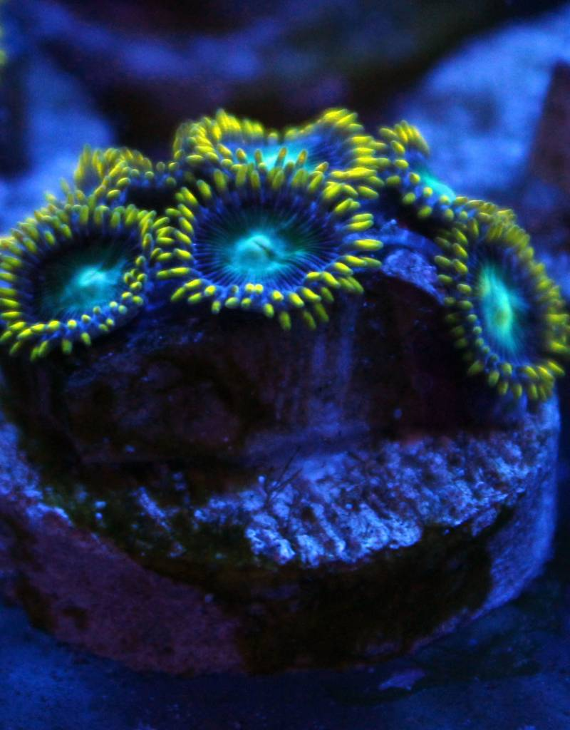 Riley's Reef - Jupiter Radio Active Dragon Eye Zoanthids