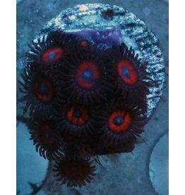 Riley's Reef - Jupiter Kedds Red Zoanthids