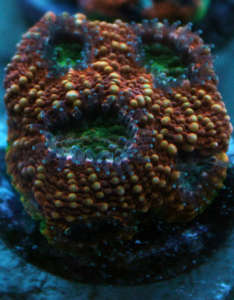 Riley's Reef - Jupiter Riley's Reef Burning Acan (Acanthastrea-Echinata)
