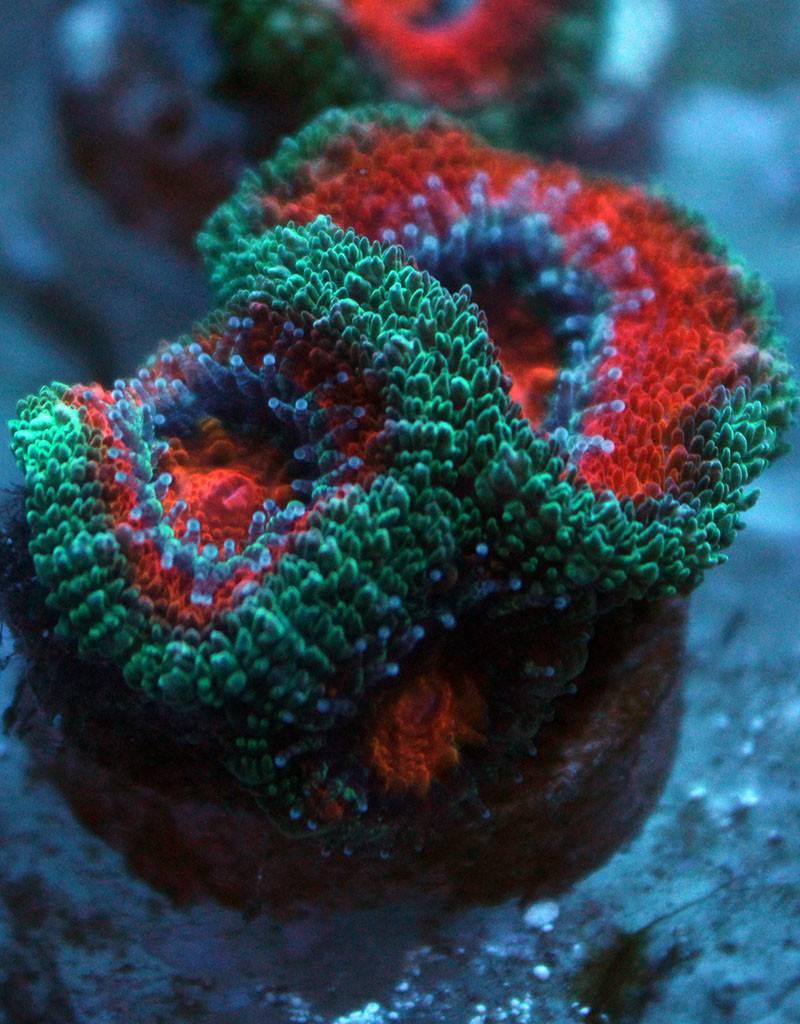 Riley's Reef - Jupiter Watermelon Acan (Acanthastrea-Echinata)