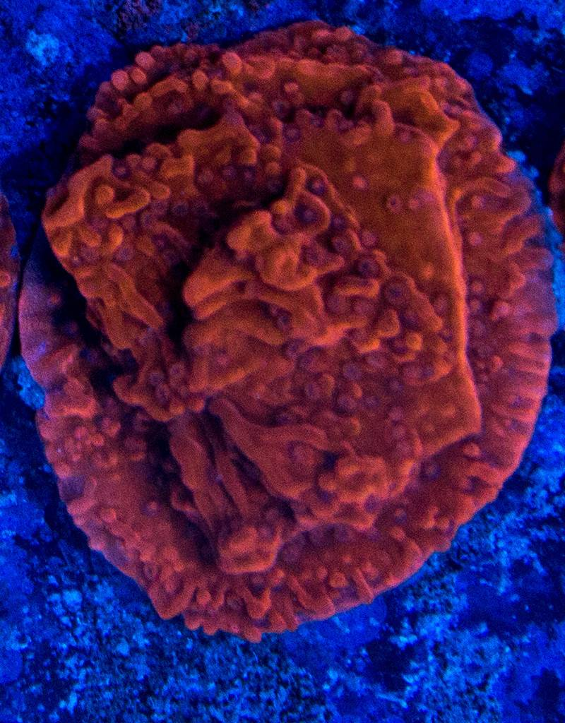 Riley's Reef - Jupiter Red Montipora (Montipora capricornis)