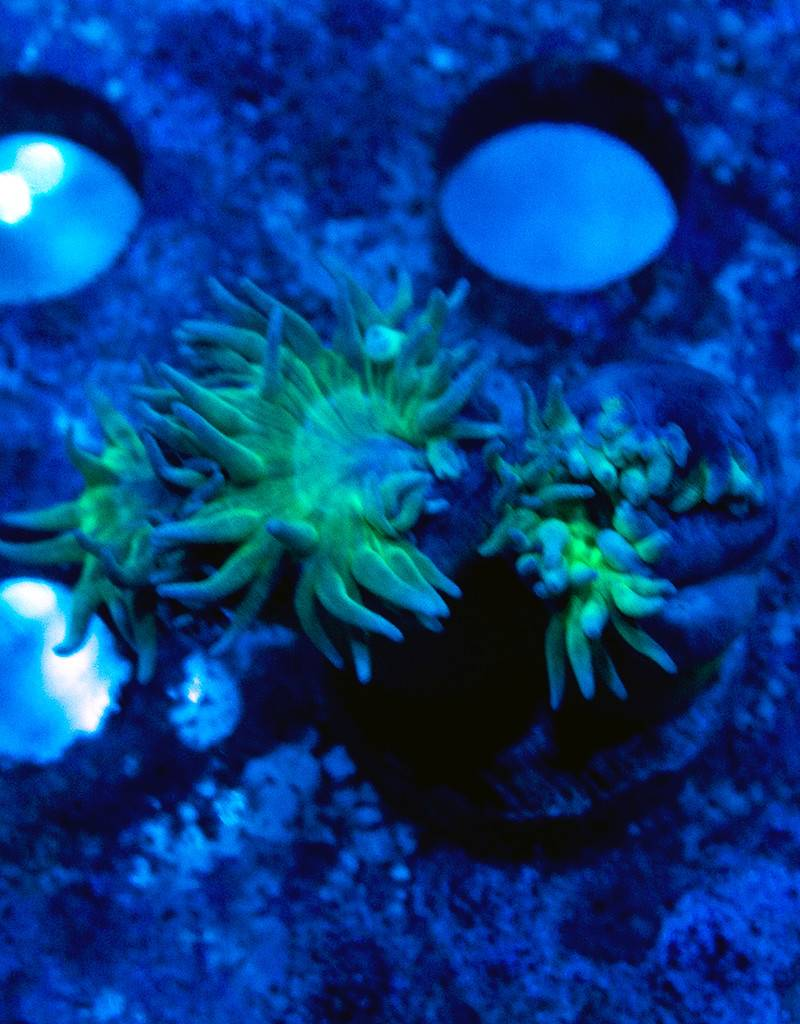 Duncan Coral (Duncanopsammia Sp)