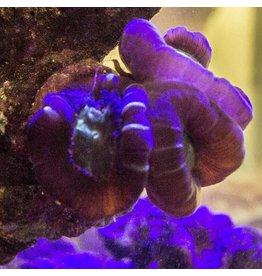 Riley's Reef - Jupiter Candy Cane Coral (Caulastrea furcata)