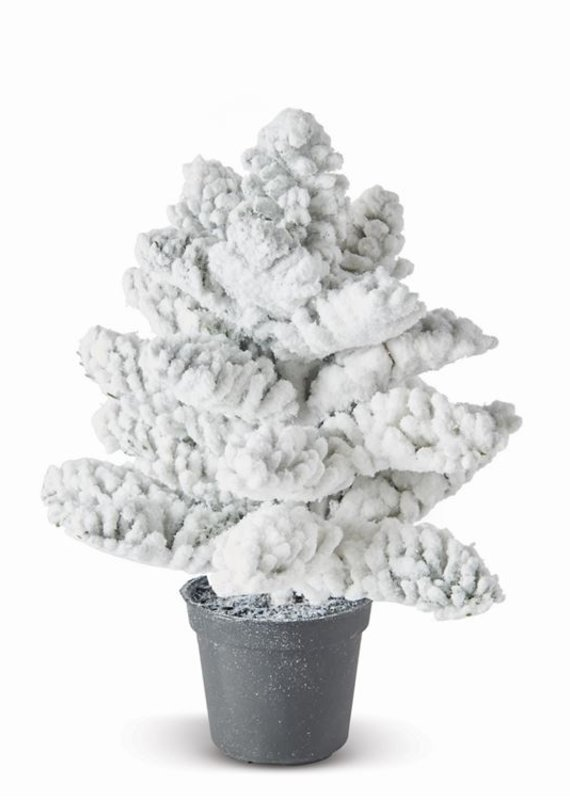 "Snowy Noble Fir Sapling 8"""