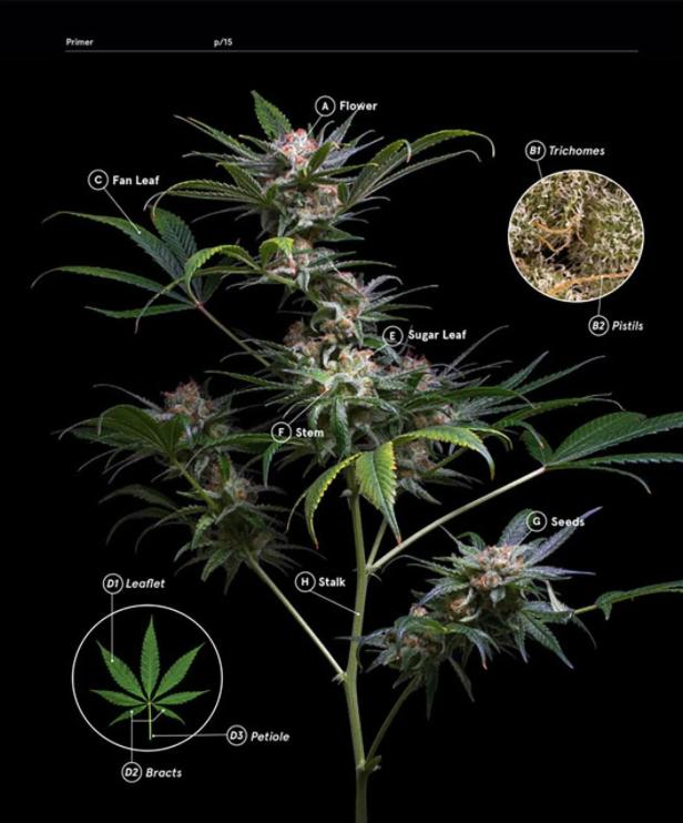 Harper Group Green: A Field Guide to Marijuana