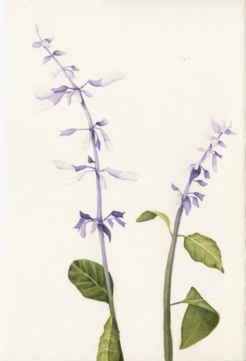 Salvia Divinorum: The Diviner's Sage