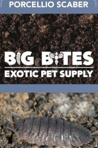 Big Bites Culture de cloporte Isopod rugueux Porcellio Scaber paquets de 12