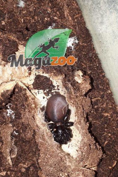 Magazoo Araigné piégeuse noire (Gorgyrella sp. Black)