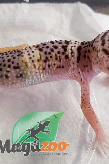 Magazoo Gecko léopard Mack Snow Bébé