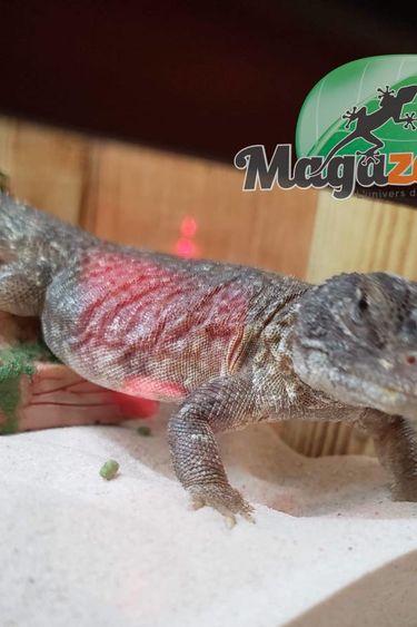 Magazoo Uromastyx Marocain Bébés Nés en Captivité