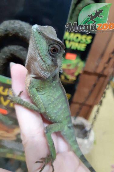 Magazoo Dragon de montagne Nain Male