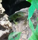 Magazoo Gecko Diurne Géant de Madagascar Juvenil Mâle