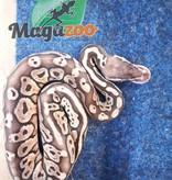 Magazoo Python Royal Sterling Pastel Mâle