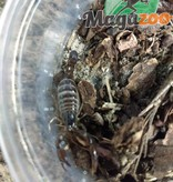 Magazoo Scorpion nain du Chili/Bothriurus coriaceus