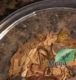 Magazoo Scorpion du Texas/Centruroides vittatus