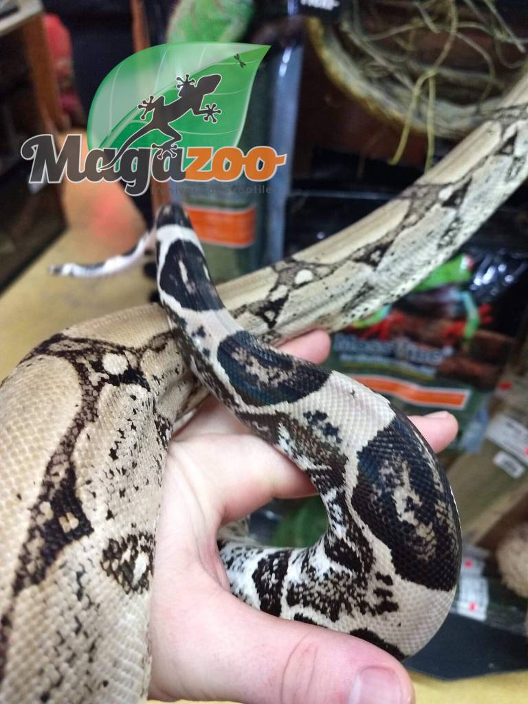 Magazoo Boa Constricteur Colombien Anery Possible Het Snow  Femelle